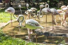 Los flamencos, Parque das Aves, Foz hacen Iguacu, el Brasil Foto de archivo libre de regalías