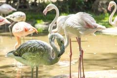 Los flamencos, Parque das Aves, Foz hacen Iguacu, el Brasil Imagen de archivo