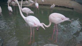 Los flamencos rosados elegantes caminan en pescados de cogida de la pequeña libra metrajes
