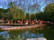 los flamencos rosados en un lago del agua en una primavera parquean fauna Foto de archivo