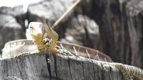 Los flavescenes nublados lindos, pequeños del indicus del Varanus del lagarto del amarillo del monitor se están sentando en un ár metrajes