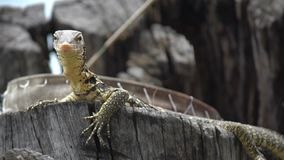 Los flavescenes nublados lindos, pequeños del indicus del Varanus del lagarto del amarillo del monitor se están sentando en un ár almacen de metraje de vídeo