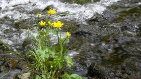 Los flores amarillos de la maravilla de pantano apacible con verde fresco se van en la cascada metrajes