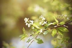 Los flores birdcherry blancos florecen en un día de primavera fotografía de archivo