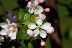 Los flores de Apple Foto de archivo libre de regalías