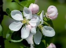 Los flores de Apple Fotografía de archivo libre de regalías