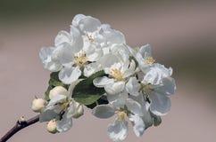 Los flores de Apple Imagenes de archivo