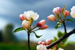 Los flores de Apple se cierran para arriba Imagenes de archivo
