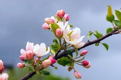 Los flores de Apple se cierran para arriba Imagen de archivo libre de regalías