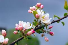 Los flores de Apple se cierran para arriba Fotos de archivo