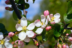 Los flores de Apple se cierran para arriba Fotografía de archivo libre de regalías