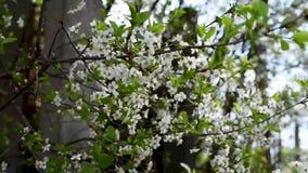 Los flores de Apple son el balanceo blanco grande en un fondo de verdes y el otro salvado almacen de video