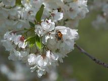Los flores de Chery y manosean la abeja Imagenes de archivo
