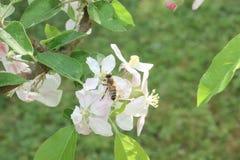 Los flores de la manzana del butin de la abeja florecen recogiendo el polen y el néctar para hacer la miel Fotos de archivo