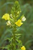 Los flores de la onagra se abren y cierran Imágenes de archivo libres de regalías