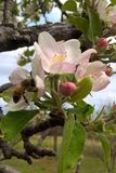 Los flores de Oklahoma Apple atraen la abeja hambrienta Fotografía de archivo