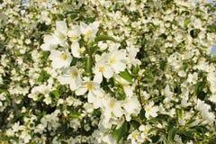Los flores de un manzano Foto de archivo libre de regalías