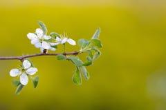 Los flores del endrino Imagen de archivo