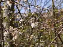 Los flores del endrino son los heraldos de la primavera en un arbolado de Lancashire Imagen de archivo libre de regalías