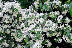 Los flores del manzana-árbol Una rama Foto de archivo
