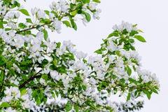 Los flores del manzana-árbol Una rama Imagen de archivo libre de regalías