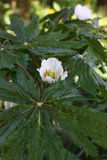 Los flores del podophyllum. Fotos de archivo libres de regalías
