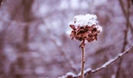Los flores del sauce debajo de la nieve Imagen de archivo libre de regalías