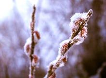 Los flores del sauce debajo de la nieve Imágenes de archivo libres de regalías