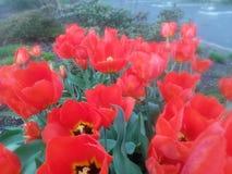 Los flores del tulipán rojo florecen en rojo y verde Imagen de archivo libre de regalías