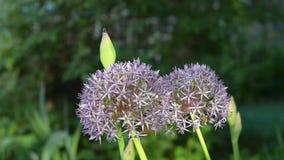 Los flores hermosos de la lila de cebollas ornamentales, están en la floración a principios de verano metrajes