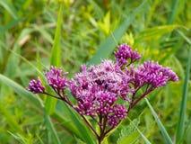 Los flores perfumados de Joe Pye Weed atraen donadoras de polen fotografía de archivo libre de regalías