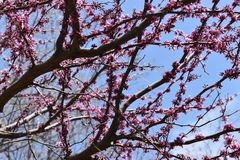 Los flores rosados hermosos en un árbol fotografiaron de debajo en un día de primavera soleado Fotos de archivo libres de regalías