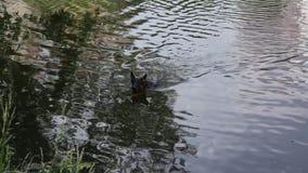 Los flotadores del pastor alemán de la raza del perro en la charca desembarcan almacen de video