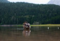 Los flotadores del pato Foto de archivo libre de regalías