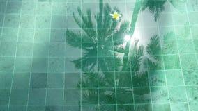 Los flotadores franzhipan del Plumeria blanco de la flor en palmeras del agua de la piscina afectan en agua de la piscina en día  almacen de metraje de vídeo