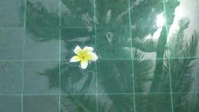 Los flotadores franzhipan del Plumeria blanco de la flor en palmeras del agua de la piscina afectan en agua de la piscina en d?a  almacen de metraje de vídeo