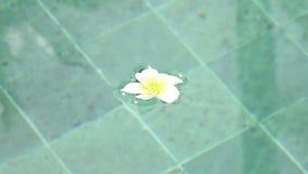 Los flotadores franzhipan del Plumeria blanco de la flor en palmeras del agua de la piscina afectan en agua de la piscina en d?a  metrajes