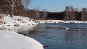 Los flujos no congelados del río entre las costas nevadas de un bosque del abedul metrajes