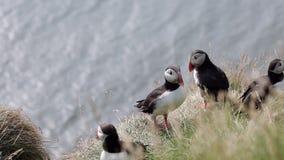 Los frailecillos son pájaros asombrosos de Islandia El cierre sube almacen de metraje de vídeo