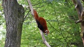 Los fulgens latinos del Ailurus del nombre de la panda roja están caminando en el árbol Animal exótico raro en las hojas del árbo almacen de metraje de vídeo