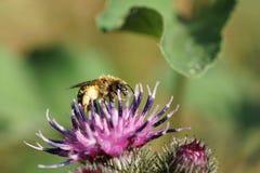 Los fulvipes salvajes caucásicos mullidos macros de Macropis de la abeja encendido inflorescen Imagenes de archivo
