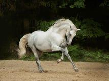 Los funcionamientos andaluces blancos del caballo galopan en tiempo de verano Imágenes de archivo libres de regalías