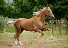 Los funcionamientos de oro del caballo del akhal-teke del palomino liberan Imagen de archivo