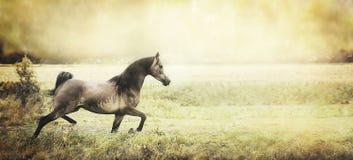 Los funcionamientos jovenes sanos fuertes del caballo trotan en el campo, haber entonado retro, bandera Fotos de archivo libres de regalías