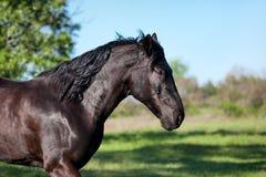 Los funcionamientos negros del caballo trotan contra un fondo borroso del campo verde Fotografía de archivo