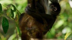 Los fusciceps de cabeza negra del Ateles del mono de araña cuelgan en un árbol en el parque nacional de Corcovado en Costa Rica foto de archivo libre de regalías