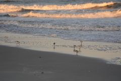 Los gaiteros de la arena corren hacia adelante y atrás mientras que cazan para la comida del resaca-lado fotos de archivo