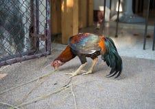 Los gallos están comiendo en el piso Imagenes de archivo