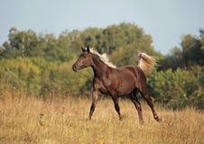 Los galopes hermosos del caballo a través del campo Imagen de archivo libre de regalías