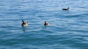 Los gansos canadienses están libres de nadar en el agua clara del lago almacen de video